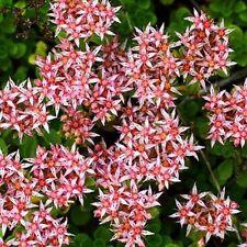 Sedum Stolon Stonecrop Succulent Seeds (Sedum Stoloniferum) 50+Seeds