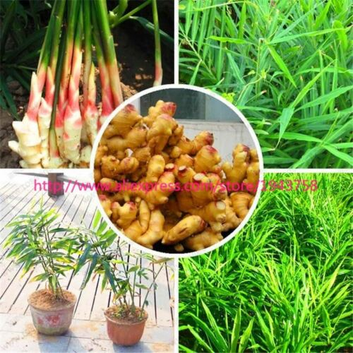 100pcs Perennial ginger seed vegetable seeds balcony fruits and vegetables
