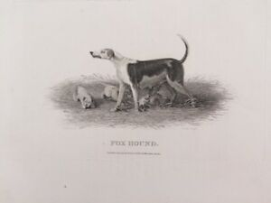 FOX HOUND     DOG   engraved by John Scott  copper plate engraving  London 1801
