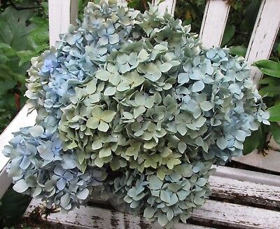 8 Dried Hydrangea Flowers  Lt. Blue and Green Shades Wedding, Bouquets + Crafts