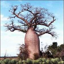 ***25 seeds ADANSONIA DIGITATA*BAOBAB*DEAD RAT TREE***FREE SHIPPING***