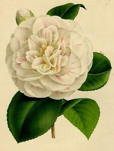 Decoration-Botanique-Fleur-Camelia-Madame-Lemonnier-Linden-Lithographie-XIX