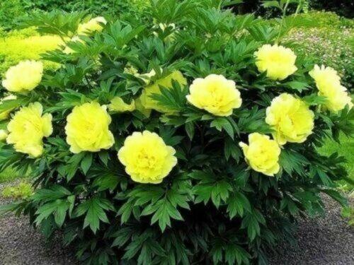 Yellow Rare Peony Roots Perennial Flowers Garden Bonsai Impressive Landscape