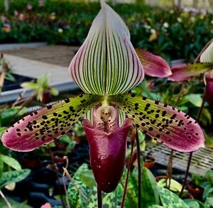 Paphiopedilum-sukhakulii-Hybride-NEW-bluehstarke-Pflanze-Orchidee-Orchideen