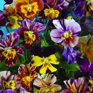 25 viola brush strokes perennial edible pansy rare perennial image is loading 25 viola brush strokes perennial edible pansy rare mightylinksfo