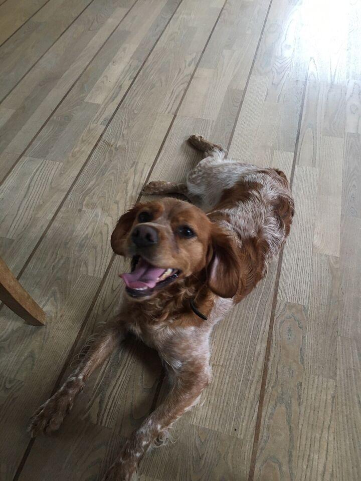 Breton, hund, 2 år
