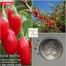 10 HIMALAYAN GOJI BERRY 'WOLFBERRY'SEEDS(Lycium barbarum);Edible Medicinal fruit