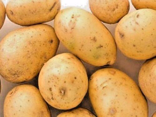 Seeds organic Potatoes Milena Very early  from Ukraine