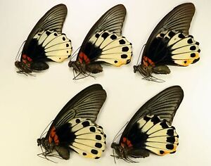 Papilio memnon agenor 5 females  wholesale good for artwork Papilionidae