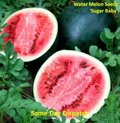 WATER MELON /'Sugar Baby/' 50//100 Seeds *Fast Dispatch*