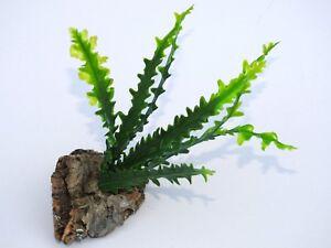 Plastic Vivarium Plant,Small Curly Leaved Fern Mounted On Cork bark