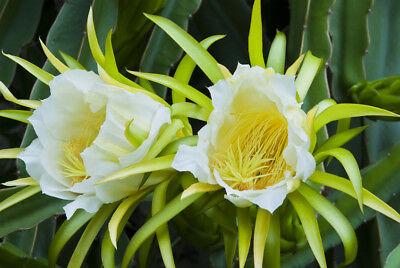 Exot Semi Piante Esotiche Sementi Stanza Pianta Cactus Cactus Kletterkaktee-mostra Il Titolo Originale