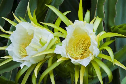Exot semi piante esotiche sementi stanza PIANTA CACTUS CACTUS kletterkaktee