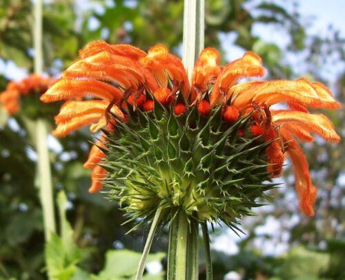 Seeds 50 seeds Details about  /Leonotis Nepetifolia Klip Dagga