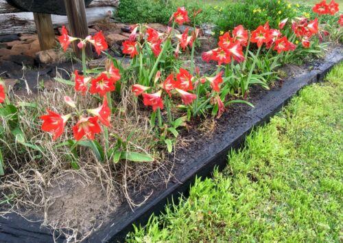 St Hardy Amaryllis Hippeastrum x johnsonii 4 bulbs Joseph/'s Lily