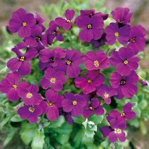 PERENNIAL-FLOWER-AUBRIETA-GRACILLIS-ROCK-CRESS-ROYAL-VIOLET-0-15-GRAM
