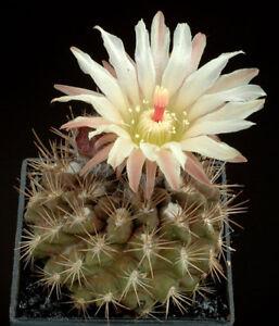 10 Echinocereus hancockii semi seeds CACTUS RARE SEEDS no ariocarpus astrophytum