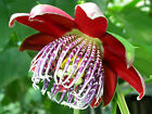 Passiflora Alata - Rare Tropical Climbing Vine - Sweet Edible Fruit - 10 Seeds