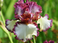 2 MIX-Bearded Iris Bulbs Drama Queen Flowers Home Garden Multiply Rapidly Plants