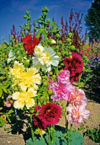 Seeds Hollyhock Mallow Stockrose Mix Giant Annual Flower Beautiful Organic