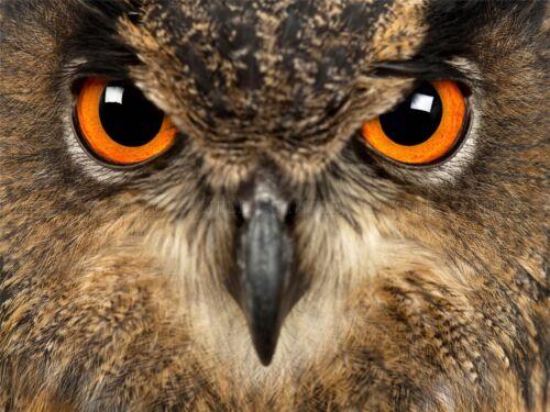 EURASIAN EAGLE OWL CLOSEUP EYES BIRD PRAY PHOTO ART PRINT POSTER BMP2270A
