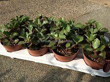 Kalanchoe Pinnata - Goethe Plant - RARE LIVE PLANTS!
