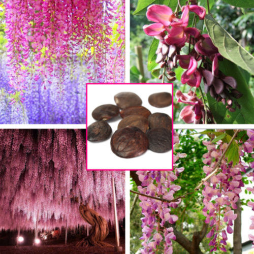 10X Purple Floribunda Chinese Wisteria Vine Seeds Blumen Garden Plant Balaco,~
