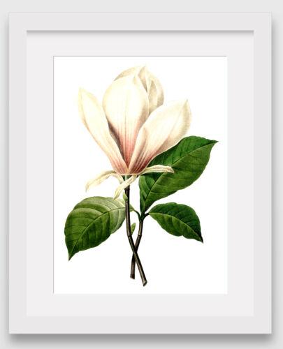 White Magnolia Print 8 x 10 Inches Unframed Botanical Flower Illustration