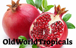 Sirenevyi-Pomegranate-Live-Plant-Tropical-Exotic
