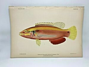Antique-Lithographic-Print-Reef-Fishes-Hawaiian-Islands-Bien-1903-Plate-25