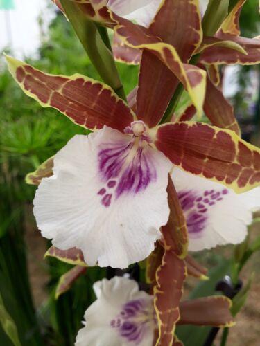 Orchid Miltonia summerbreeze Orchidée pianta