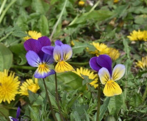 100//800 Graines Violette Tricolore Cornue Magnifiques Fleurs Vivaces