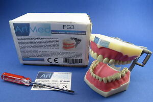 Model-Anatomy-Typodont-Dental-Type-Frasaco-AG3-Removable-Teeth-Model-FG3-ARTMED