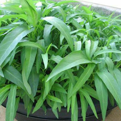 30Seeds Water Spinach Kangkong River Spinach Garden Vegetable Seeds B1B0