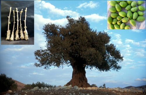 "40 Olive /""Souri/"" Seeds 5 Green Olive /""Souri/"" Tree Cutting"