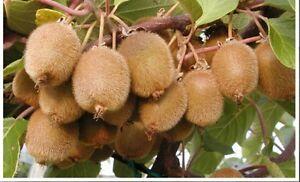 Actinidia-deliciosa-Kiwi-Frosthart-Essbar-Mehrjaehrig-Obst-20-Samen