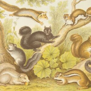 Squirrel-print-antique-natural-history-colour-lithograph-Blackie-amp-Son
