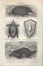 Lithografie 1906: Kloakentiere. Ameisenigel Schnabeltier Stacheligel