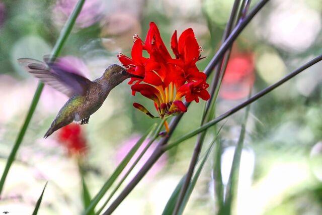Spring 10 Red Perennial Crocosmia Lucifer Flower Bulbs A