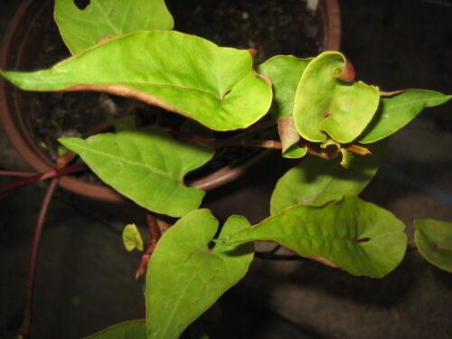Fo Tieng Pflanze