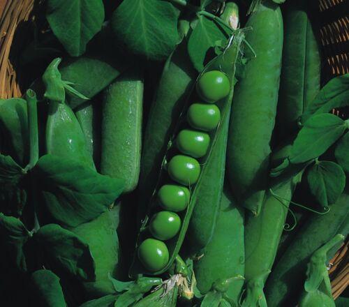 Erbse Bulkware Gemüse Early Onward 1200 Samen