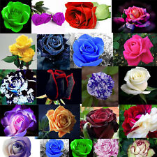 1250 Rose seeds Pink Black Red Purple coffee Blue pink green yellow Dragon gold