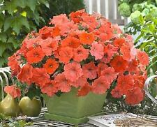 African Sunset Spreading Petunia Seed