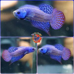 Live Betta Fish Male FIGHTING Mahachai Wild Betta #B831
