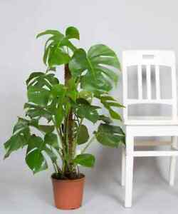 100-Monstera-Deliciosa-Plante-Graines-Vivace-Plantes-Decoratif-Arbre-pour-home