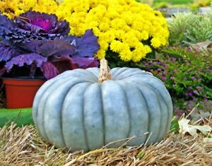 Seeds-Rare-Pumpkin-Queensland-Blue-Giant-Halloween-Vegetable-Organic-Ukraine