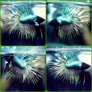Live Betta Fish GREEN COPPER Crowntail CT Male A336