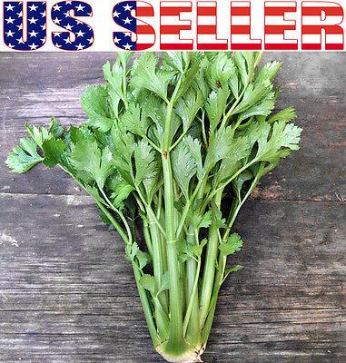 1000+ ORGANIC Tall Utah Celery Seeds Heirloom NON-GMO Non-bitter Crisp