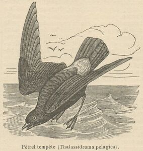 C8892 Thalassidroma Pelagica - Stampa Antica - 1892 Engraving MatéRiaux De Qualité SupéRieure