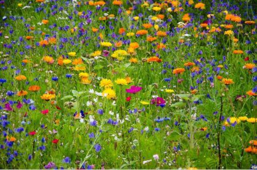 5//20G Graines 100/% Fleurs Sauvages Bleuet Oseille Trefoil Enrichir Prairies